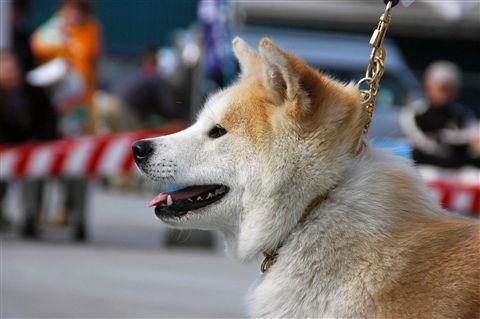 第4回 秋田犬保存会 北海道道南支部 展覧会  2