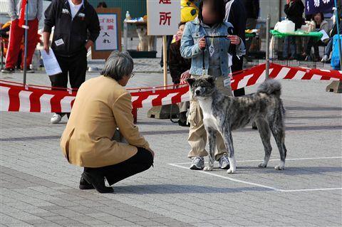 第4回 秋田犬保存会 北海道道南支部 展覧会  5